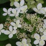 <em>Hydrangea paniculata</em> PASTELGREEN 24/07/2018