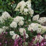 <em>Hydrangea paniculata</em> 'Sundae Fraise' 25/07/2015