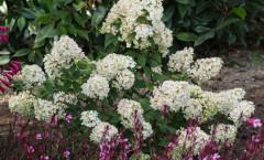 Hydrangea paniculata 'Sundae Fraise' 25/07/2015