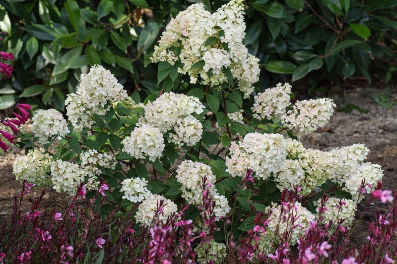 Hydrangea paniculata \'Sundae Fraise\' – Papi Joe\'s Garden