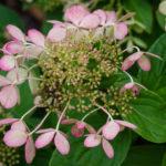 <em>Hydrangea paniculata</em> 'pastel green' 14/08/2018