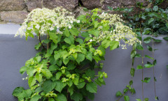 Hydrangea petiolaris 24/05/2015