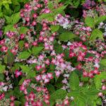 <em>Hydrangea serrata</em> 'Kurenai' 02/07/2016