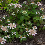 <em>Hydrangea serrata</em> 'Kurenai' 11/06/2015