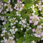 <em>Hydrangea serrata</em> 'Kurenai' 17/06/2016