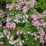 <em>Hydrangea serrata</em> 'Kurenai' 21/06/2016