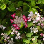 <em>Hydrangea serrata</em> 'Kurenai' 24/06/2015