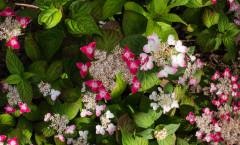 Hydrangea serrata 'Kurenai' 24/06/2015