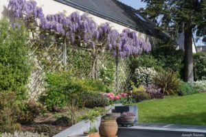 Mixed border West with wisteria in full bloom, etc.