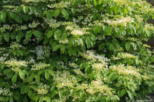 Viburnum plicatum f. tomentosum 'Lanarth'