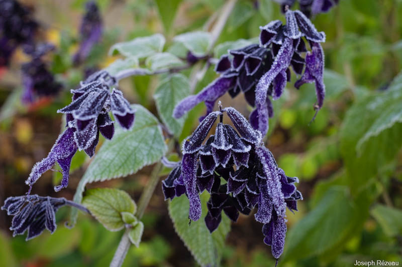 Salvia Amistad looking despondent, so far away from it's original climate!