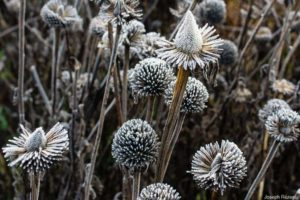 Echinacea purpurea JS® 'White Prairie'