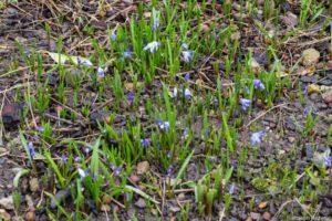 Tout début floraison début mars