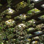<em>Akebia quinata</em> 'Cream-flowered' 18/03/2020