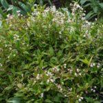 <em>Deutzia gracilis</em> 'Nikko' 21/04/2020