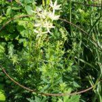 <em>Aconitum septentrionale</em> 'Ivorine' 05/05/2020