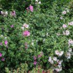<em>Lavatera x clementii</em> 'Barnsley' 15/06/2020