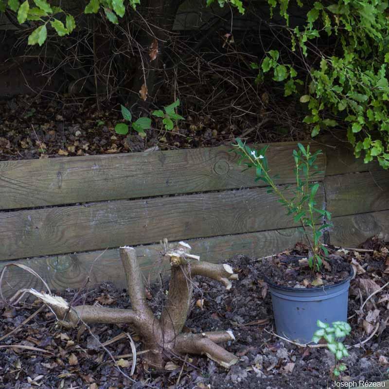 spécimen crevé et sa marcotte (dans son pot)