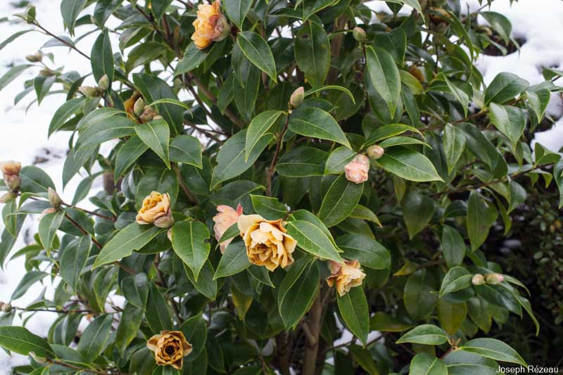 Snow and frost got the better of the pretty pink flowers of my camellia 'Buttons & Bows'.