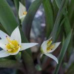 <em>Tulipa turkestanica</em> 20/02/2021