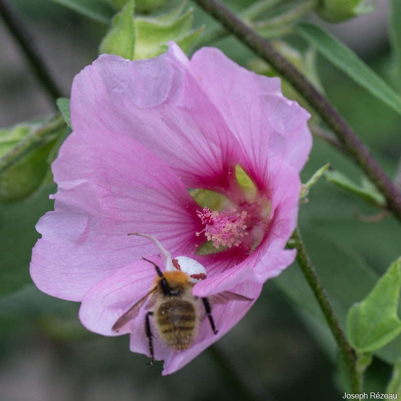 The bumble-bee and the crab-spider