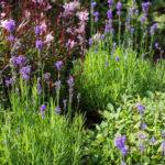 <em>Lavandula angustifolia</em> 'Munstead' 02/07/2016