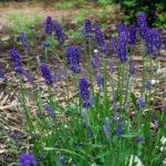 <em>Lavandula angustifolia</em> Hidcote 17/06/2021