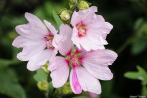 Bouquet de fleurs avec un spécimen montrant la réversion au type
