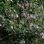 <em>Lavatera x clementii</em> 'Barnsley' 17/07/2018