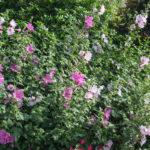 <em>Lavatera x clementii</em> 'Barnsley' 20/06/2020