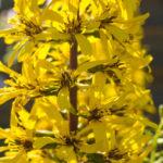 <em>Ligularia stenocephala</em> 'The Rocket' 26/07/2016