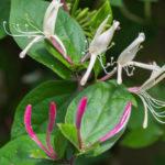 <em>Lonicera japonica var. repens</em> 08/06/2016