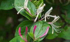 Fleurs blanches marginées de rose.