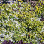 <em>Loropetalum chinense</em> 11/04/2019