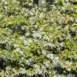<em>Loropetalum chinense</em> 18/03/2020
