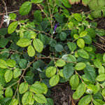 <em>Loropetalum chinense</em> 18/10/2015