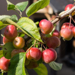 <em>Malus Perpetu</em> 'Evereste' 02/09/2015