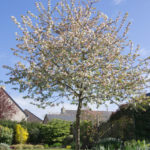 <em>Malus Perpetu</em> 'Evereste' 03/04/2020