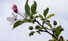 Malus Perpetu 'Evereste' 24/05/2015