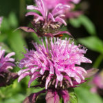 <em>Monarda x</em> 'Beauty of Cobham' 08/07/2019
