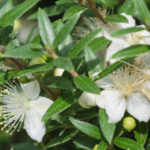 <em>Myrtus communis</em> 'Microphylla' 10/08/2020