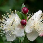 <em>Myrtus communis</em> 'Microphylla' 06/09/2020