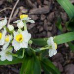 <em>Narcissus Tazetta</em> 'Paperwhite Ziva' 09/03/2017