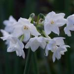 <em>Narcissus Tazetta</em> 'Paperwhite Ziva' 10/01/2016