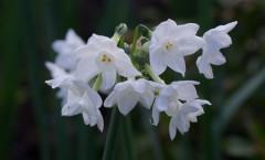 Narcissus Tazetta 'Paperwhite Ziva' 10/01/2016