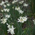 <em>Narcissus  triandrus</em> 'Thalia' 05/04/2016