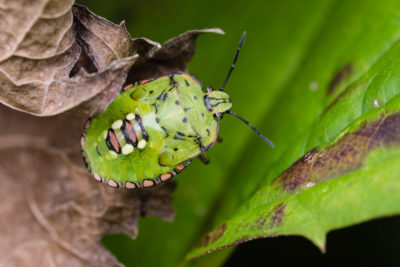 Final instar nymph (5th instar)
