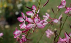 Oenothera lindheimeri 'Rosyjane' 19/09/2015