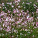 <em>Oenothera lindheimeri</em> 'Rosyjane' 28/07/2016