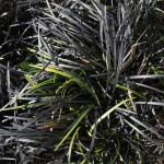 <em>Ophiopogon planiscapus</em> 'Nigrescens' 15/04/2014